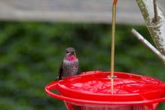 Colibrì della Anna maschio Fotografia Stock Libera da Diritti