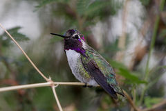 Colibrì della Costa maschio (costae di Calypte) Immagine Stock Libera da Diritti