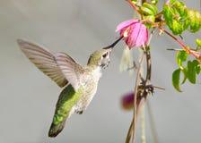 Colibrì di Annas che si alimenta i fiori della vite della clematide fotografia stock libera da diritti