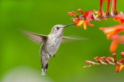 Colibrì di Annas che si alimenta i fiori di Crocosmia fotografie stock libere da diritti