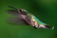 Colibrì di volo Fotografia Stock Libera da Diritti