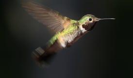 Colibrì durante il volo fotografie stock