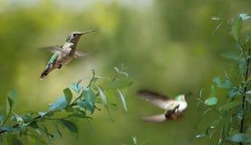 Colibrì durante l'estate Fotografie Stock Libere da Diritti