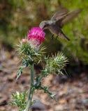 Colibrì e cardo selvatico di fioritura rosso in Arizona del Nord immagine stock