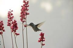 Colibrì e fiore Fotografia Stock Libera da Diritti