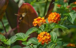 Colibrì Hawk Moth di volo fotografia stock libera da diritti