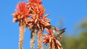 Colibrì magnifico e fiore rosso Fotografia Stock Libera da Diritti