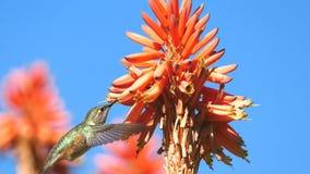 Colibrì magnifico e fiore rosso Fotografie Stock Libere da Diritti