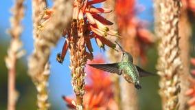 Colibrì magnifico e fiore rosso Fotografie Stock