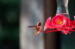 Colibrì maschio di Rufus Fotografie Stock Libere da Diritti