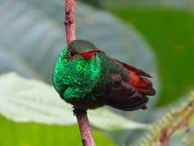 Colibrì munito Rufous immagine stock