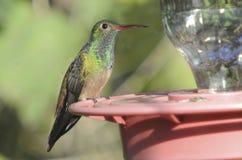 colibrì Patito-gonfiato appollaiato sull'alimentatore Immagini Stock Libere da Diritti