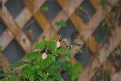 Colibrì Rubino-Throated Immagini Stock