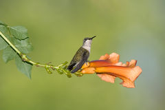 Colibrì Rubino-Throated Fotografia Stock
