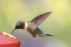 colibrì Rubino-throated ad un alimentatore fotografie stock