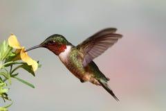 colibrì Rubino-throated (colubris del archilochus) Immagine Stock Libera da Diritti