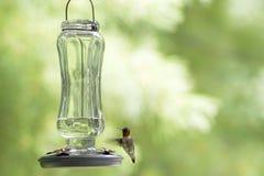 colibrì Rubino-throated & x28; colubris& x29 di archiloco; immagini stock