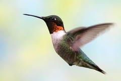 colibrì Rubino-throated durante il volo Fotografia Stock