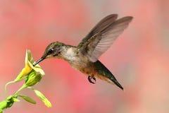 colibrì Rubino-throated durante il volo Immagini Stock Libere da Diritti