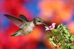 colibrì Rubino-throated durante il volo Fotografie Stock Libere da Diritti