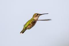 Colibrì Rubino-throated femminile che si libra vicino alla fonte dell'alimento con il suo becco chiuso Fotografia Stock