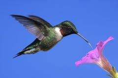 Colibrì Rubino-throated maschio Fotografie Stock Libere da Diritti