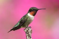 colibrì Rubino-throated su una perchia Immagini Stock Libere da Diritti