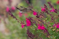 Colibrì Rufous immagini stock libere da diritti