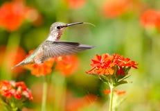Colibrì Rufous che si alimenta i fiori della croce di Malta fotografia stock