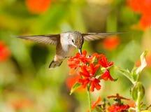 Colibrì Rufous che si alimenta i fiori della croce di Malta immagine stock