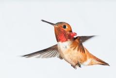 Colibrì Rufous - maschio immagini stock libere da diritti