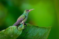 colibrì Rufous-munito - colibrì di medie dimensioni del tzacatl di Amazilia su fondo verde immagini stock