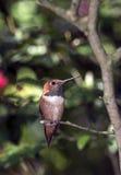 Colibrì Rufous (rufus di Selasphorus) Fotografia Stock
