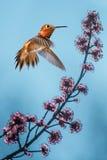 Colibrì Rufous sopra il fondo del cielo più blu Fotografia Stock