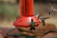 Colibrì su un alimentatore con una vespa immagini stock