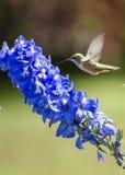 Colibrì sul fiore fotografia stock libera da diritti
