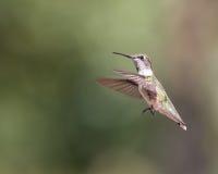 Colibrì Throated vermiglio Fotografie Stock Libere da Diritti