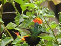 Colibrì tropicale che si alimenta nell'arancia del fiore Fotografia Stock Libera da Diritti