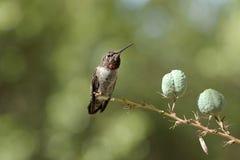 colibrì Vasto-munito fotografia stock