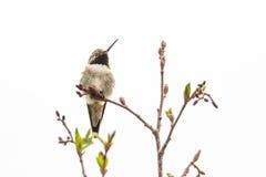 colibrì Vasto-munito fotografie stock