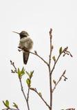 colibrì Vasto-munito immagini stock libere da diritti
