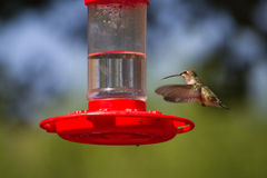 colibrì Vasto-munito, platycercus di Selasphorus Fotografia Stock