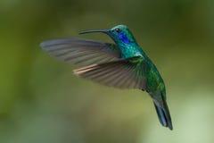 Colibrì verde dell'Viola-orecchio in Costa Rica Immagine Stock Libera da Diritti