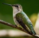 Colibrì vermiglio della gola Fotografie Stock