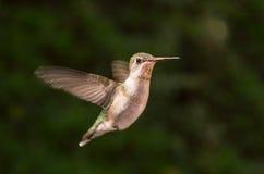 Colibrì in volo Fotografie Stock