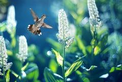 Colibrì in volo fotografie stock libere da diritti