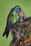 Colibrí adulto que alimenta dos polluelos en la jerarquía, Violeta-oído verde, thalassinus de Colibri, Savegre, Costa Rica foto de archivo libre de regalías