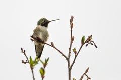 colibrí Amplio-atado imagen de archivo libre de regalías