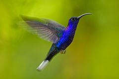 Colibrí azul grande que vuela Violet Sabrewing con el fondo verde borroso Colibrí en mosca Colibrí del vuelo Wildli de la acción Foto de archivo libre de regalías