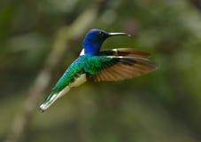 colibrí Blanco-necked de Jacobin Imágenes de archivo libres de regalías